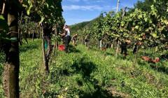 Vineyard Of La Bellanotte Winery
