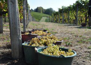 Harvested Grapes At La Cave Des Producteurs De Jurançon Winery