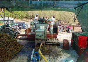 Harvest At La Chimera D'Albegna Winery