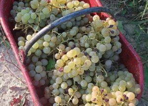 Harvest At La Patareina Winery