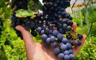 las arcas de tolombon winemaker holding in hand bunch of black grapes