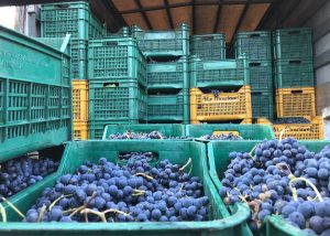 Harvest At Le Masciare Winery