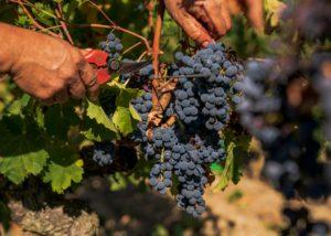 Harvesting Grarpes At Les Caves De La Loire Winery