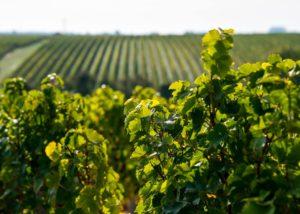 Vineyard Of Les Caves De La Loire Winery