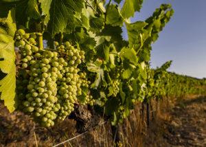 Maius Viticultors grapes grown at vineyard in Spain
