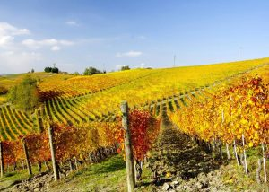 Vineyards Of Manfredi Aldo Winery