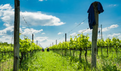 Vineyard Of Marina Danieli Estate Winery