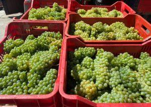 Harvest Of Mario Costa Winery