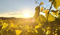 Vineyard Of Mas Costeplane Winery