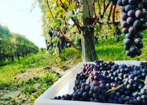 A Man Prunning Vines At Mauro Veglio Azienda Agricola Winery in Barolo, Piedmont, Italy