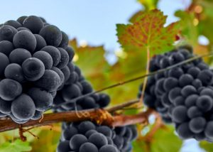 Black Grapes At Monti Winery