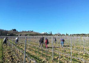 Vineyard Of Olivi - Le Buche Winery