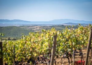vineyard of poggio nibbiale winery