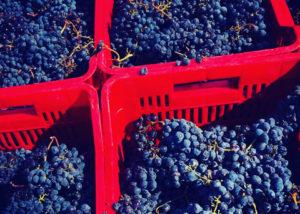 harvest at poggio nibbiale winery