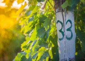 Vineyard Of Pomona Winery in Chianti, Tuscany, Italy