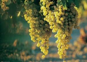 Posestvo Rouna Grapes Bunch
