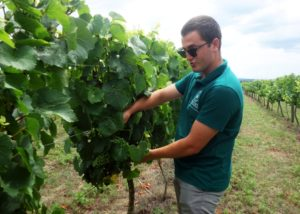 prisoe winery winemaker picking grapes in the vineyard near winery