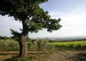 Vineyard Of The Querce Bettiina Winery