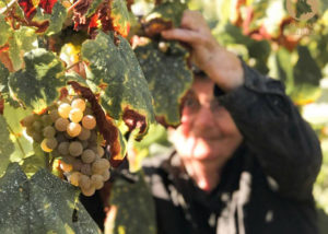 A person picking grapes at the vineyard of Quintas de Melgaço winery