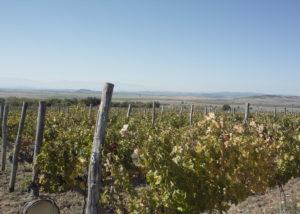 rumelia beautiful and lush vineyards near winery in bulgaria