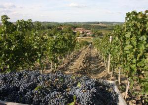 Vineyard Of San Fabiano Calcinaia Winery