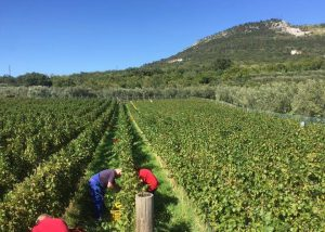 Vineyard Of Sancin Winery