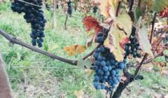 Grapes at Scagliola Giacomo & Figlio