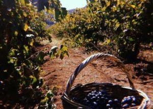 semeli estate harvested black grapes in the basket on the vineyard