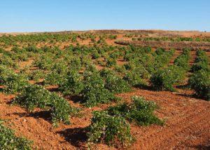 Solera Bodegas vineyard that looks like desert in Spain
