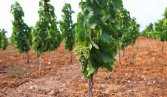 Vines At Tenuta Bastonaca Winery