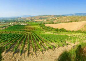 Vineyard Of The Tenuta Celimarro Winery