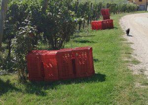 Harvest At Tenuta Di Artimino Winery