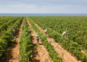 vineyard of tenuta gorghi tondi winery
