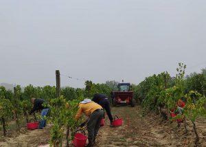 Staff Of Tenuta Valdipiatta Winery Harvesting Grapes