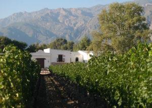 vasija secreta slender rows of grapevines on the vineyard near winery