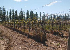 viña el cerno beautiful grapevines on the lush vineyards near winery