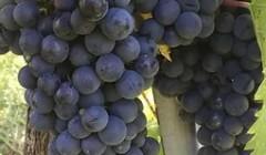 Grapes Of Vignano Winery
