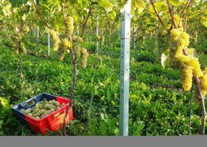 harvest at vin du pays de herve