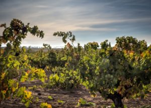 vinaguarena cellar lush vineyards near winery in lovely spain
