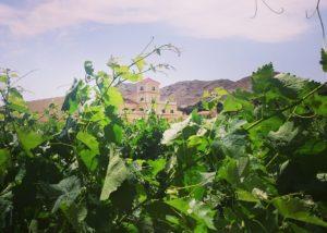 vines at Viñedos y Bodegas Asensio Carcelén vineyard in Spain