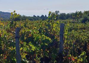 Vineyard Of Vivera Winery