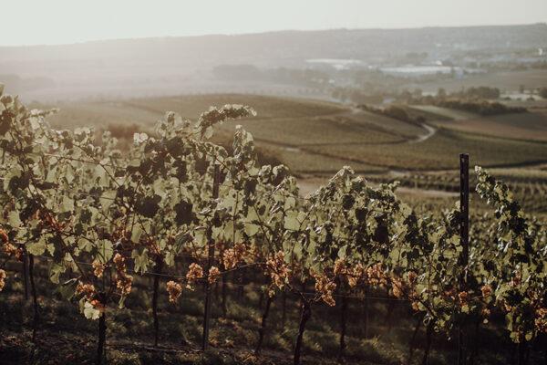 Beautiful vineyard of Weingut Braunewell winery