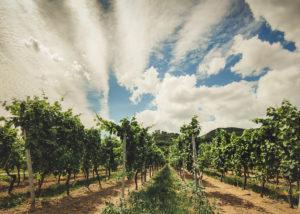 vineyard of weingut georg naegele