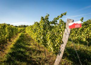Rows of vines in the vineyard at Weingut Grenzhof-Fiedler.