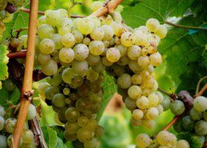 grapes at weingut martin conrad