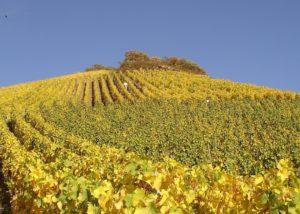 vineyard of weingut martin conrad