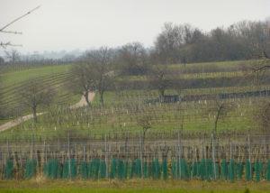 Vineyard of the Weingut Umathum winery