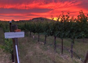 Sunset View Of The Vineyard Of The Wilridge Vineyard, Winery & Distillery