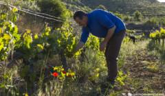 winemaker at work on Maius Viticultors vineyard in Spain