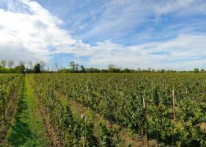 Ancilla Azienda Agricola La Ghidina - vineyards